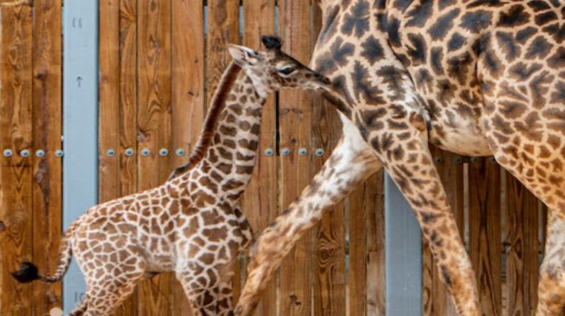 Nace una jirafa en el parque Animal Kingdom de Orlando - El Comercio