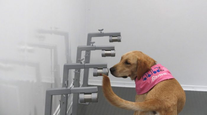 Los canes inspeccionan las muestras para detectar el covid-19. Foto: EFE
