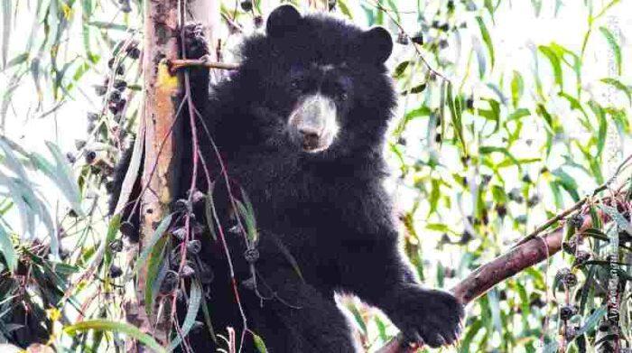 El oso andino es uno de los animales más afectados por el conflicto humano-animal en Ecuador. Cortesía Andrés Laguna