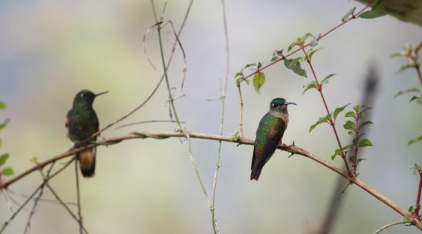La parroquia de Mindo es parte del proyecto del Choco Andino para que la Unesco declare a la zona como Reserva de Biosfera. Allí viven más de 500 especies de aves, entre ellas, los colibríes. Foto: Diego Pallero / VIAJAR