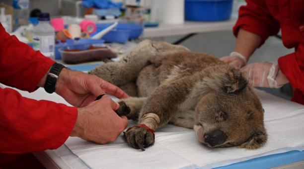 Un koala herido está siendo tratado por quemaduras por un veterinario en un hospital de campo improvisado en el Kangaroo Island Wildlife Park en Kangaroo Island este martes 14 de enero del 2020. Foto: AFP