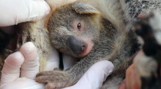 El pequeño koala fue nombrado Ash (Ceniza) en honor a los marsupiales que murieron en los incendios forestales de Australia. Foto: captura.