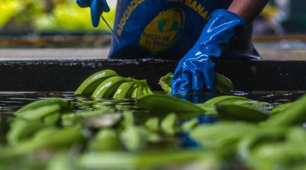 La reunión para definir el precio de la caja de banano para el año 2021 tendrá lugar el próximo 16 de octubre del 2020. Foto: Archivo/ Enrique Pesantes/ EL COMERCIO.