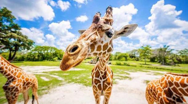 La jirafa sufrió una fractura en sus dos patas y su herida se agravó. Foto: Instagram Zoo Miami