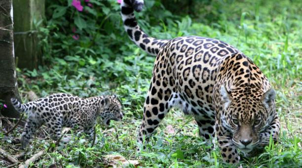 En el Chocó meriodional (entre Pichincha y Esmeraldas), la especie tiene poco espacio de bosque. Foto: Archivo / El Comercio