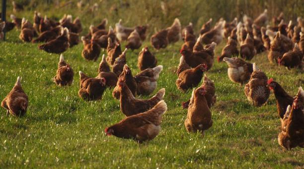 Imagen referencial. 19 millones de aves en Corea del Sur fueron sacrificadas debido a un brote de gripe aviar. Foto: Pixabay.