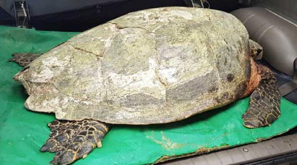 La tortuga carey rescatada en Manabí fue intervenida quirúrgicamente. Foto: cortesía Ministerio de Ambiente