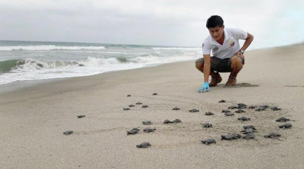 9 266 tortugas nacieron en la playa Las Palmas, ubicada en la provincia Esmeraldas, fronteriza con Colombia, durante el período 2020-2021, informó este viernes 22 de enero del 2021 el Ministerio.