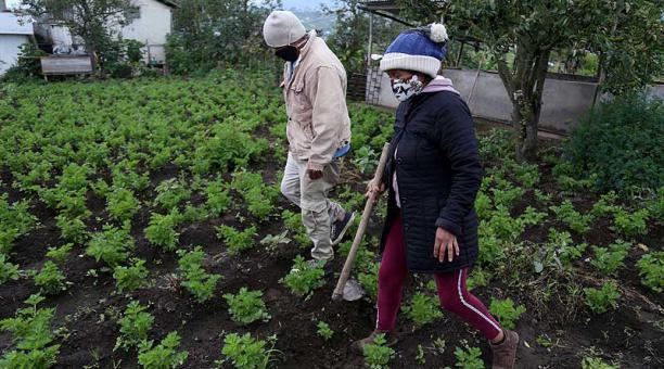 Elsa Moposita trabaja en su chacra cubierta de plantas de apio, que cosechará en tres semanas. Foto: Glenda Giacometti / EL COMERCIO