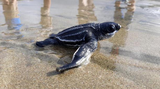 Por primera vez en Ecuador nacieron 38 crías de la tortuga laúd, la más grande del mundo. La especie se encuentra amenazada de extinción. Foto: cortesía Ministerio del Ambiente.
