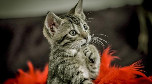 Imagen referencial. Un brote de coronavirus en Valparaíso (Chile) fue vinculado a la fiesta de cumpleaños de un gato. Foto: Pixabay,.