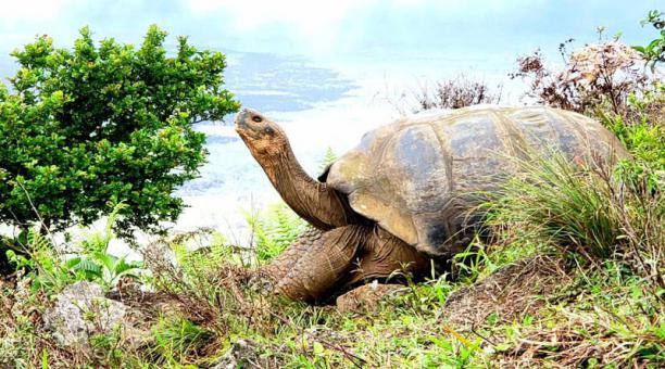 En isla Isabela, en el volcán Alcedo, se hallaron 4 723 tortugas gigantes. Foto: Cortesía Ministerio de Ambiente