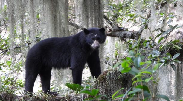 Imbabura es una de las provincias más afectadas por el conflicto entre personas y osos por el ganado.