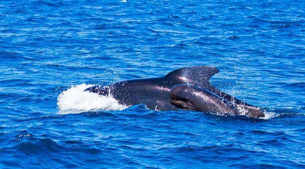 Imagen referencial. Los científicos aún no han podido explicar por qué en ocasiones las ballenas se desvían de sus rutas y se quedan varadas en aguas de poca profundidad. Foto: Pixabay