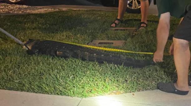 En EE.UU. una familia halló una caimán en su garaje cuando regresaban a casa. Foto: Facebook Torrie Heathcoat