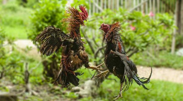 Imagen referencial. Las peleas de gallos son comunes en la India a pesar de una prohibición nacional impuesta en 1960. Foto: Pixabay