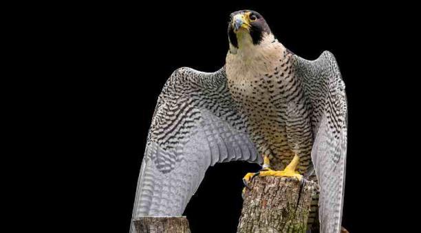 Imagen referencial: Un halcón peregrino fue hallado en la Isla Trinitaria; llegó desde Estados Unidos. Pixabay