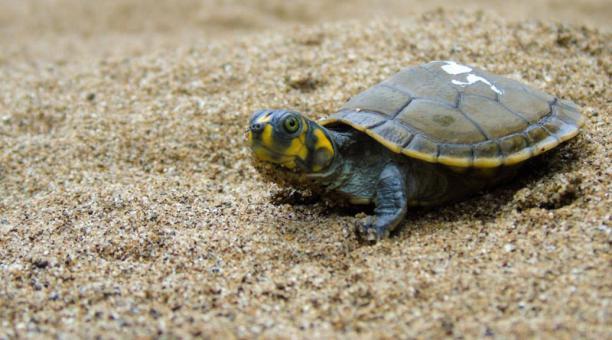Las tortugas charapa de la especie (Podocnemis unifilis) se encuentra en la categoría vulnerable (VU), según la UICN. Foto: cortesía Ministerio del Ambiente.