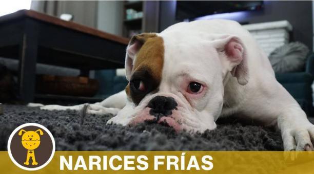 Estas razas de perro se caracterizan por su hocico achatado, lo que les causa problemas respiratorios. Foto: PIXABAY