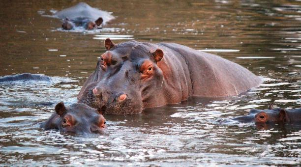 Imagen referencial. Autoridades de Colombia afirman que existen entre 70 y 100 hipopótamos habitando sin mayor control la cuenca del río Magdalena. Foto: Pixabay