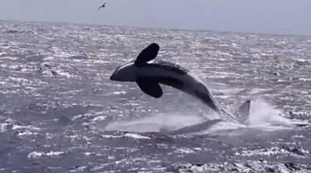 La ballena jorobada resistió con todas sus fuerzas al ataque de las orcas y quedó muy lastimada, pero pudo sobrevivir. Foto: captura
