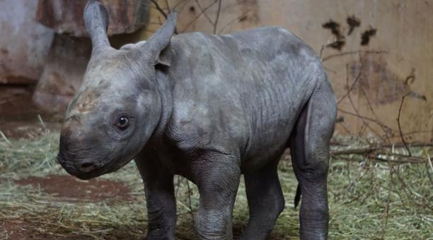 imagen referencial. Un rinoceronte negro nació en el zoológico de Miami este 24 de marzo de 2021. Foto: Pixabay