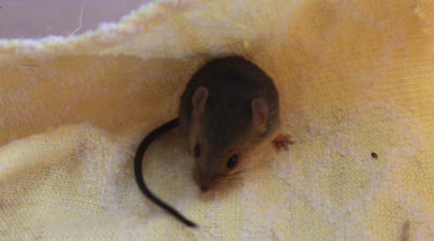 El roedor fue descubierto en una exploración de fauna en las estribaciones de los Andes ecuatorianos, al suroeste de la Cordillera del Cóndor. Foto: Cortesía Inabio