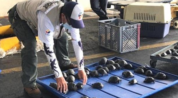 185 tortugas neotanas se encontraron ayer en una maleta en el Aeropuerto Ecológico de Galápagos, ubicado en la isla Baltra.