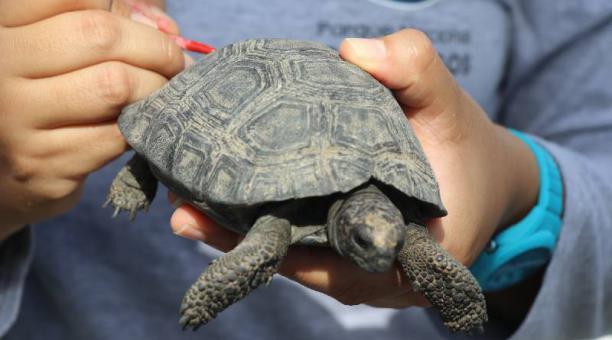 Las tortugas que fueron recuperadas en el aeropuerto de Baltra fueron trasladadas al el centro de crianza Fausto Llerena, en Santa Cruz. Foto: cortesía Ministerio del Ambiente y Agua