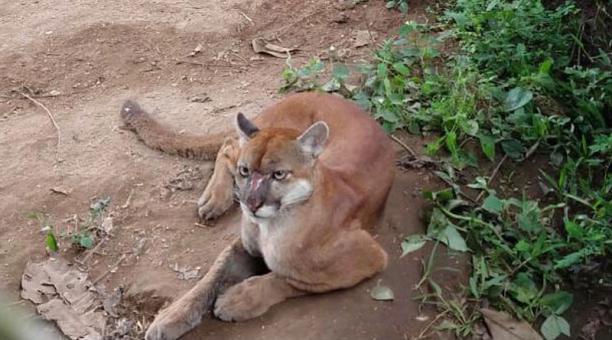 Imagen referencial. Una puma fue liberada este 2 de abril del 2021 en el Parque Nacional Cotacachi Cayapas. Foto: cortesía Ministerio del Ambiente y Agua.