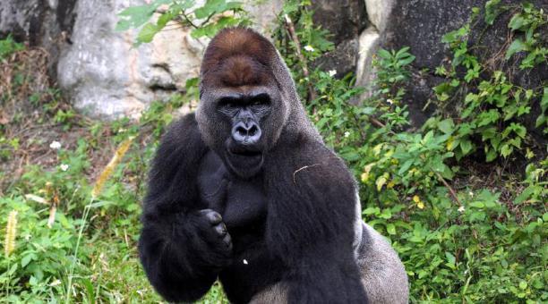 Los investigadores descubrieron una correlación entre el tamaño corporal de los gorilas y la frecuencia de los sonidos característicos de sus golpes en el tórax. Foto: EFE