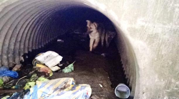 Dos cachorros fueron rescatados por los Bomberos, luego de que los canes quedaran atrapados en el ducto de una alcantarilla en el sur de Quito. Foto: Twitter Bomberos de Quito