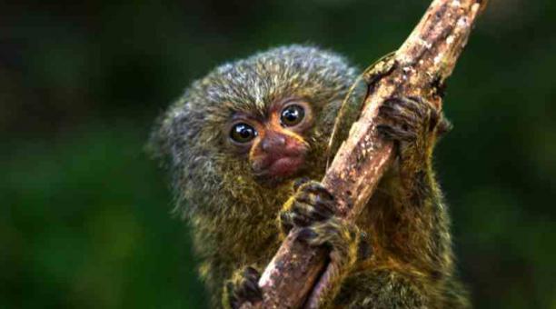 Las dos especies de mono leoncillo que existen en Ecuador habitan en la Amazonía. Foto: Cortesía USFQ