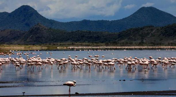 El lago Magadi ha recibido gran cantidad de flamencos que migran desde el lago Nakuru debido a los altos niveles de agua y la contaminación. Foto:  EFE