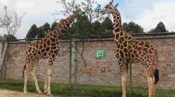 Dos jirafas fueron importadas desde Estados Unidos en el 2017 hacia Loja. Foto: Archivo/El COMERCIO