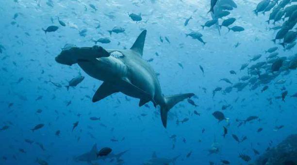 Científicos monitorearon el recorrido del tiburón martillo hembra, Cassiopeia, desde Galápagos a Costa Rica. Foto: Cortesía MAAE