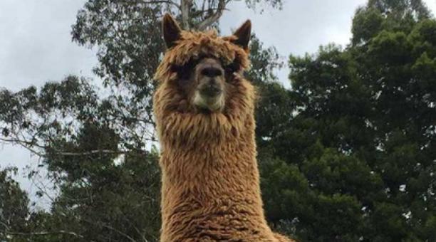El anticuerpo W25 de la alpaca Buddha, es muy estable a la nebulización y a condiciones extremas de temperatura, lo que la convierte en una opción terapéutica, según los investigadores. Foto: Instagram alpaca Buddha