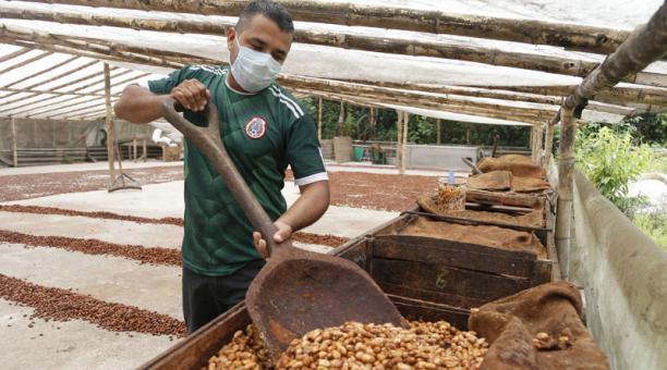 José Cedeño, productor cacaotero y miembro de la Asociación Comunitaria, realiza tareas de fermentado del grano. Foto: Diego Pallero / EL COMERCIO
