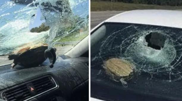 Una tortuga provocó un accidente al estrellarse contra el parabrisas de un vehículo. Foto: News Journal
