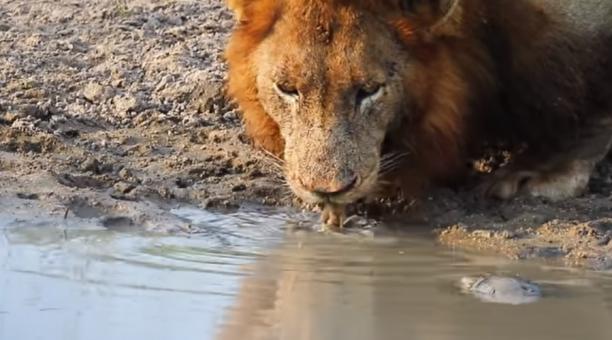 La escena ocurrió en el Parque Nacional Kruger, en Sudáfrica y el video, que se hizo viral, fue publicado por Kruger Sightings en Youtube. Foto captura