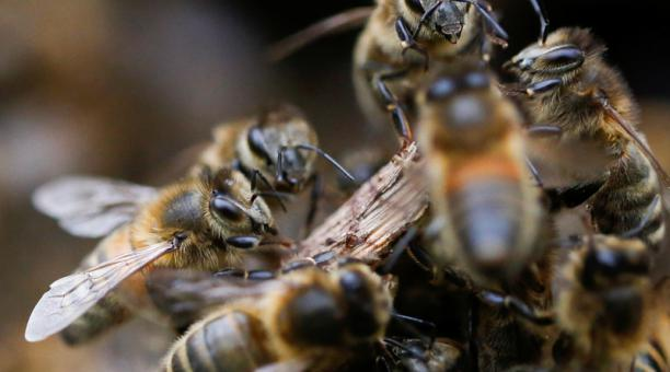 Imagen de archivo ilustrativa de abejas cerca de su colmena en Chaudron-en Mauges, Francia, el 7 de junio de 2020. Foto: Reuters