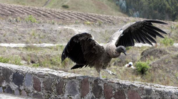 Otavalo  Ecuador 21/05/2014  Con rastreador satelital y bandas alares Liberaron del cóndor