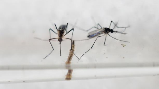 El mosquito Aedes Aegypti es el causante del virus del zika. Foto: AFP
