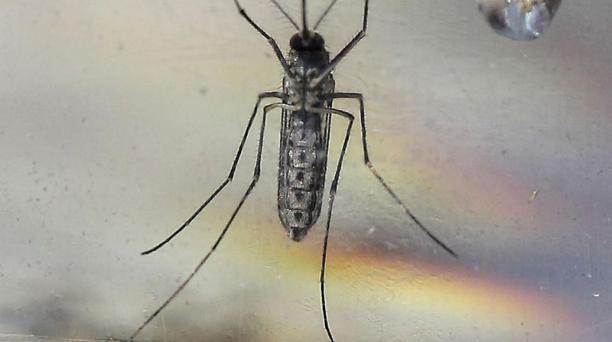 El mosquito Aedes Aegypti es el vector de contagio del virus de el Zika. Foto: EFE