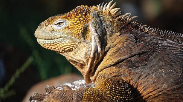 Tres personas fueron sancionadas por el atropello de una iguana. Deberán cancelar una multa solidaria de 21 remuneraciones básicas de la Provincia de Galápagos. Foto: Cortesía.