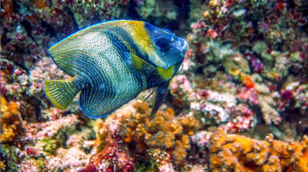 Las colonias coralinas son esenciales para la vida marina. Son ecosistemas donde miles de especies de peces se crían para luego salir a aguas más profundas.