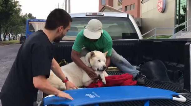 Amrok falleció este 29 de diciembre de 2017. El video de su traslado a una clínica veterinaria ubicada en Quito se volvió viral en redes sociales. Foto: captura.