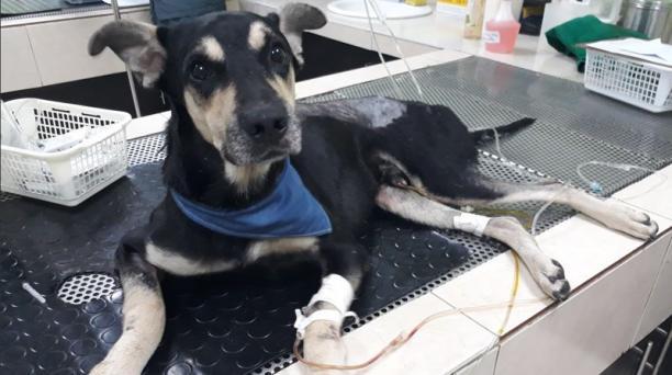 A Brauny se le practicó una cirugía de columna y ahora se encuentra en recuperación. Foto: Twitter Rescate Animal