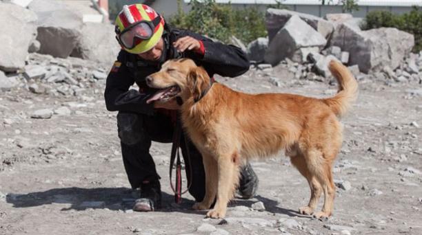Kratos es un golden retriever de seis años que participó en labores de rescate tras el terremoto del 16 de abril en Manabí. Foto: Cortesía Cuerpo de Bomberos de Quito