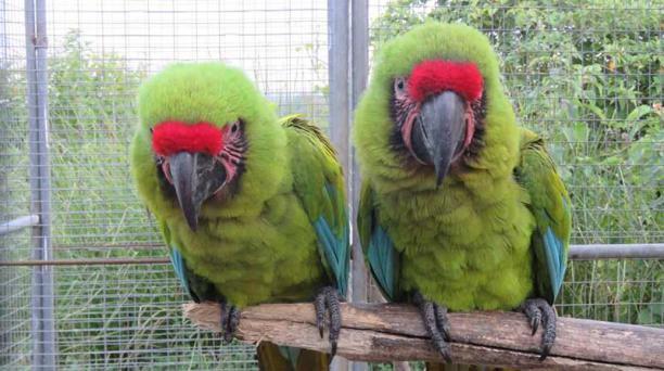 Los animales deben pasar un proceso de preadaptación en una jaula en la reserva. Foto: cortesía Fundación Jocotoco.